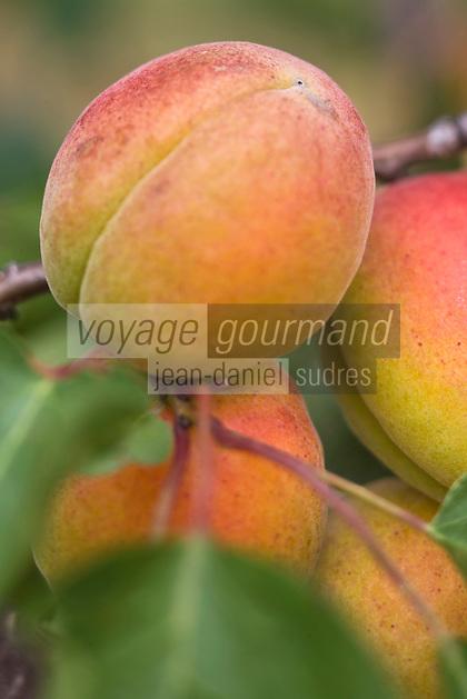 Europe/France/Rhône-Alpes/26/Drôme/Tain-L'Hermitage: Détail abricots dans un verger