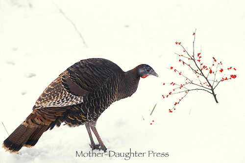 Wild turkey feeding on red hollyy berries in new snow