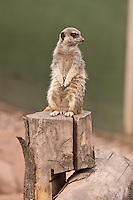A Meercat at the White Post Farm Centre, Nottinghamshire
