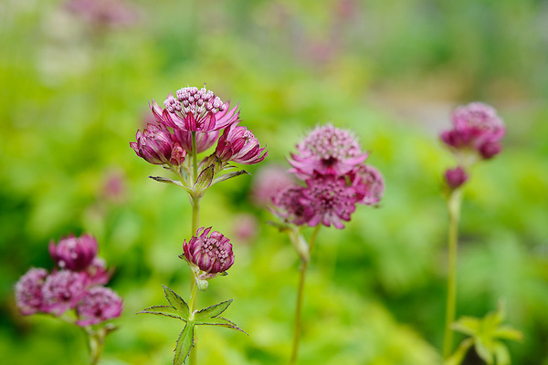 Astrantia Major 'Elmblut'