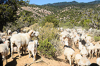 A ram stops for a nibble as the herd moves through the foothills of the Chuska Mountains.