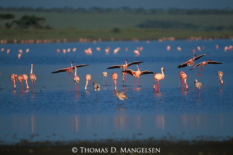 Lesser Flamingos at Lake Ndutu in Kenya.