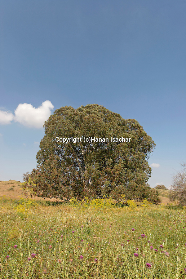 Israel, Coastal Plain. Eucalyptus tree in Wadi Hatzav