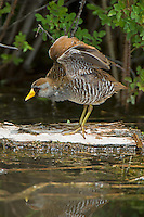 Sora stretching wings, Oregon