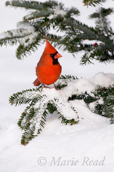 Northern Cardinal (Cardinalis cardinalis) male on snow-covered conifer, New Yor, USA