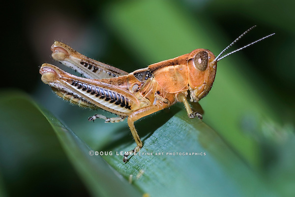 Probably a Differential Grasshopper Nymph, Melanoplus differentialis