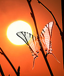 Papilio protesilaus butterfly against sunset, digitally enhanced.Digital....