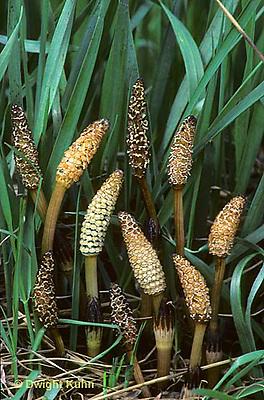HX02-008a  Horsetail - sporophyte, fertile stems,  scouring rush - Equisetum spp.