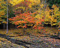 Porcupine Mountains Wilderness State Park, MI<br /> Autumn forest hardwoods and fallen leaves on the sculpted shale bank of the Presque Isle river