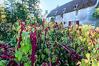 France, Indre-et-Loire (37), Chenonceaux, château et jardins de Chenonceau, le potager, amarante queue-de-renard (Amaranthus caudatus)