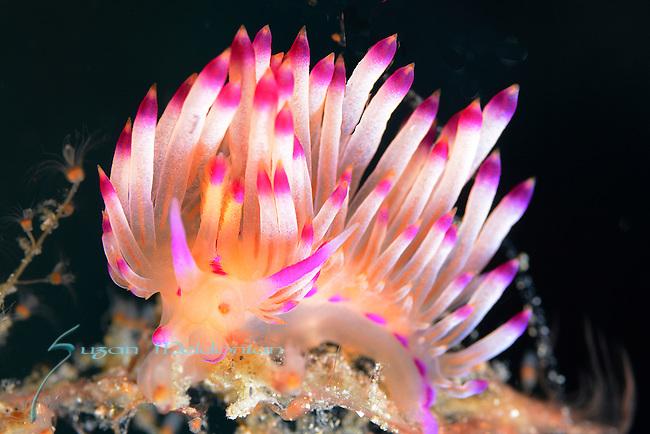 Flabellina , Marcusorum, nudibranch, Anilao, Philippines