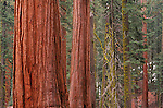 Close-up of Orange coloured trees in Sequoia National Park, California USA