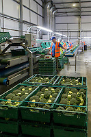 Farm packhouse over wrapping calabrese - Lincolnshire, June