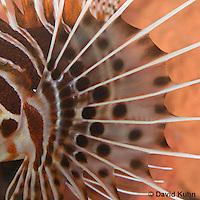 0130-1004  Closeup of Pectoral Fin, Antennata Lionfish (Broad-Banded Firefish, Spotfin Lionfish), Pterois antennata  © David Kuhn/Dwight Kuhn Photography