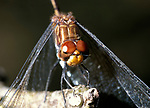 Dragonfly, close up showing compound eyes, Belize