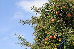 Apple-tree, Apfelbaum, Mauren, Liechtenstein