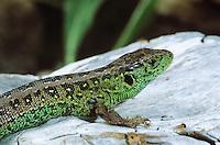Zauneidechse, Zaun-Eidechse, Männchen, Lacerta agilis, sand lizard