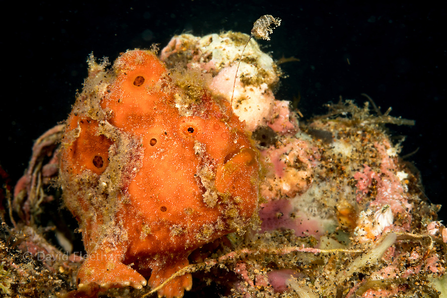 Painted frogfish, Antennarius pictus, with it's first dorsal spine and lure extended attempting to attract prey, off Dumaguete, Philippines.