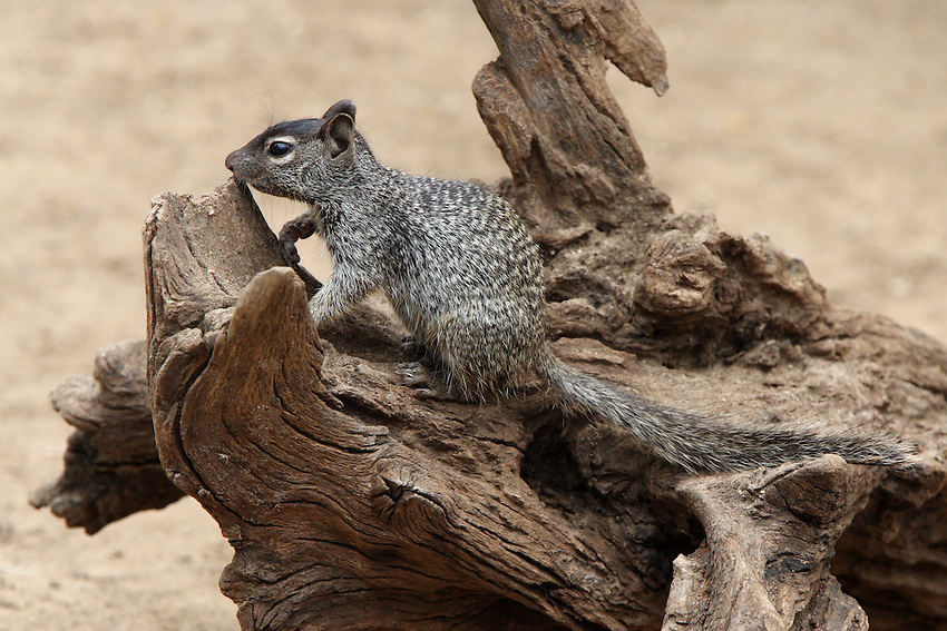 The eastern gray squirrel, or grey squirrel (depending on region), (Sciurus carolinensis), is a tree squirrel in the genus Sciurus native to the eastern and midwestern United States, and to the southerly portions of the eastern provinces of Canada.