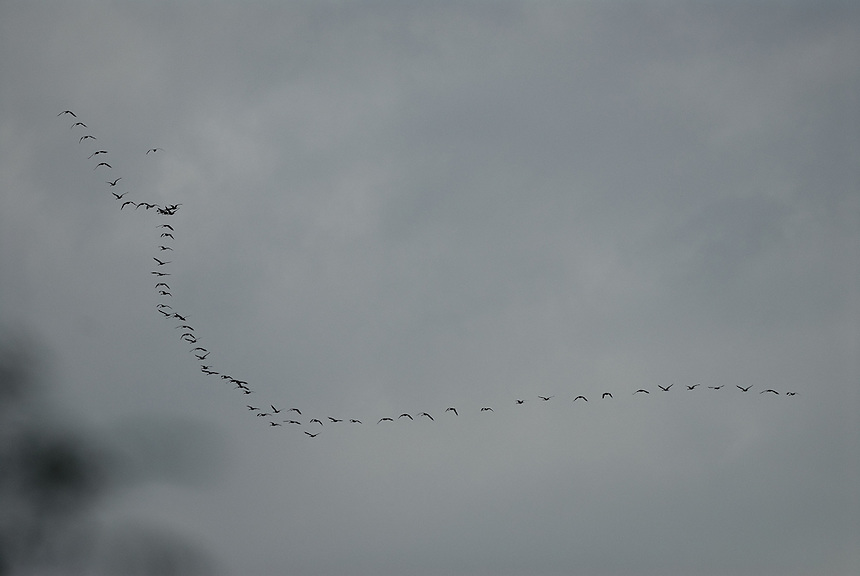Herd of goose flying