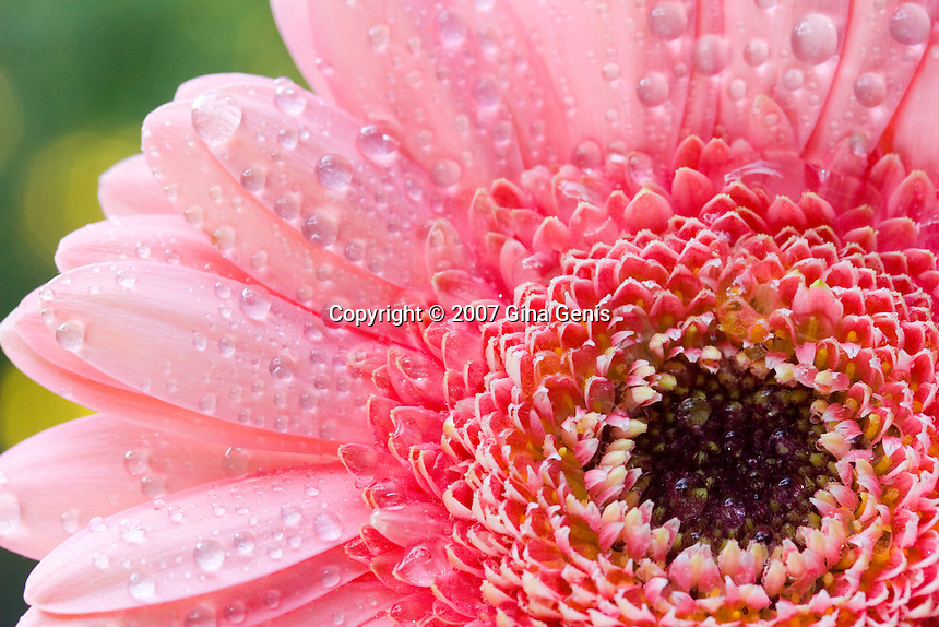 Pink Gerberia Daisy with water droplets