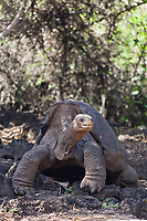 Lonesome George, the last known individual of the Pinta Island Tortoise population, one of the eleven subspecies of the Galapagos Tortoise. Currently housed at the Charles Darwin Research Center on the Island of Santa Cruz.
