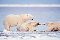 polar bears, mother and cubs, Ursus maritimus, 1002 Arctic Coastal Plain of the Arctic National Wildlife Refuge, Alaska ( Arctic ), polar bear, Ursus maritimus