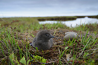 Newly hatched Red-throated Loon (Gavia stellata) chick beside the nest. Yukon Delta National Wildlife Refuge, Alaska. July.