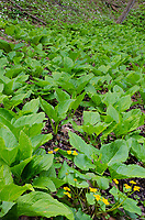 Skunk Cabbage and Marsh Marigolds fill the low side of a ridge where wet feet are not a problem while White Trillium grow on the far hillside, Warren Woods State Park, Berrien County, Michigan
