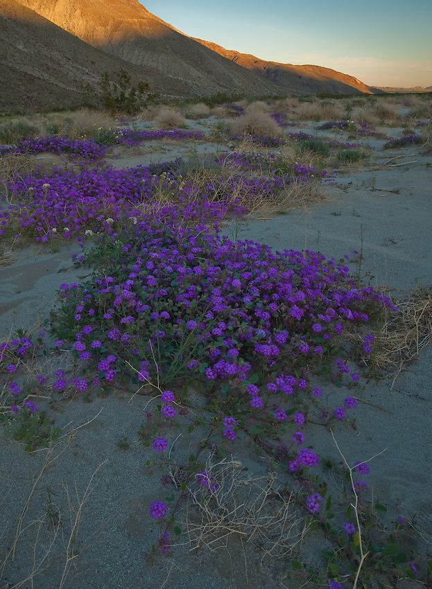 Sand Verbena in shadows at first light, Anza Borrego Desert State Park, California