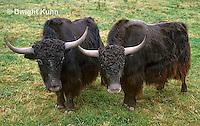 MA32-002z  American Bison - buffalo - Bison bison