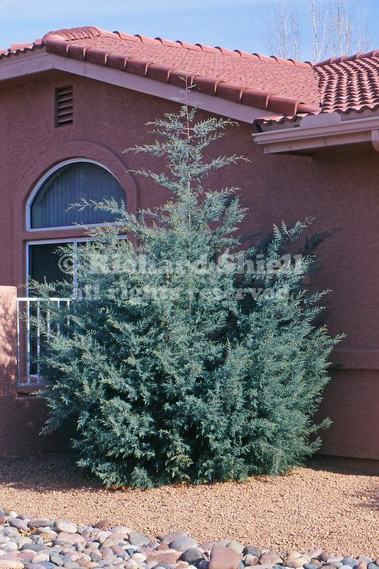 11368-CD Arizona Cypress, Cupressus arazonica glabra, in front yard, at Sedona, Arizona