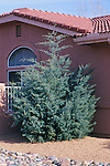 11368-CD Arizona Cypress, Cupressus arazonica glabra, in front yard, at Sedona, Arizona