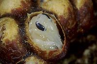Ackerhummel, Acker-Hummel, Hummel, Nest, Hummelnest, Puppe, Puppen im Kokon, Bombus pascuorum, syn. Bombus agrorum, Megabombus pascuorum floralis, common carder bee