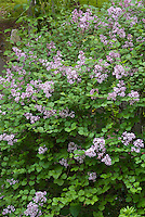 Lilac Palibin Syringa littleleaf lilac in bloom in spring