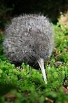 great spotted kiwi, new zealand