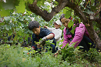 Diqing Tibetan Autonomous Prefecture, Yunnan Province, China - Members of a Tibetan family remove weeds from their grape yard, August 2018.