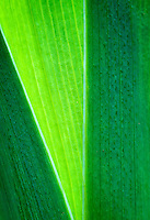 Back-lit Iris Leaves