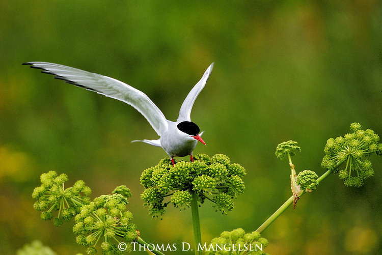 Arctic Tern perched on a flower with its wings outstretched.