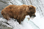 alaska brown bear catching salmon at Brooks Falls