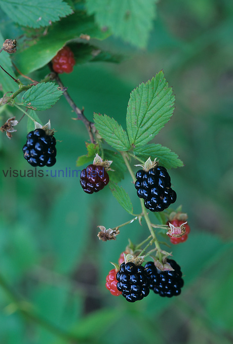 Aggregate fruits of the blackberry ,Rubus argutus, Brunswick County North Carolina