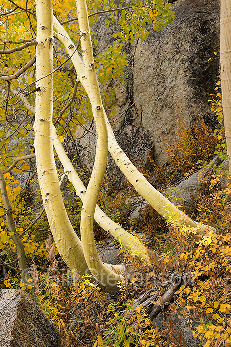 A photo of twisting yellow and gold aspen trees. I was capitavted by the magical dancing motion of these trees near Bishop Creek in the Sierra mountains.