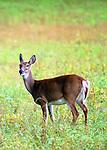 deer looking back in Cherry Creek State Park, Denver, CO