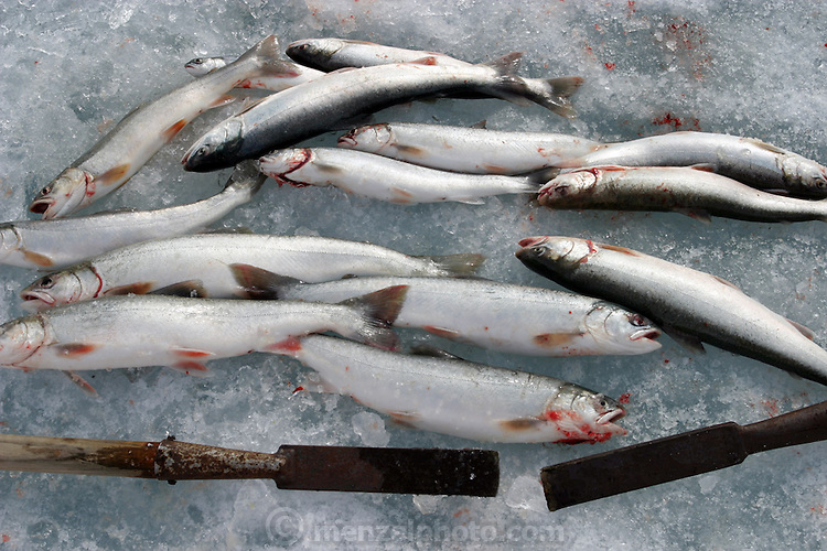 Arctic char caught in a glacial lake (the steel pikes on poles are for chopping holes in the ice). (Supporting image from the project Hungry Planet: What the World Eats.)