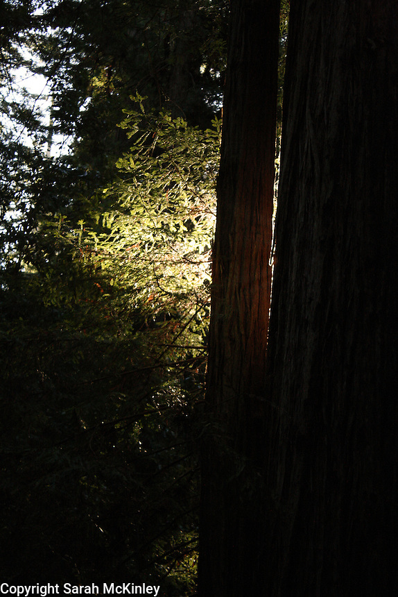 A patch of redwood leaves is brightly backlit by the sun, standing out in the dark forest of Montgomery Woods above Ukiah in Mendocino County in Northern California.