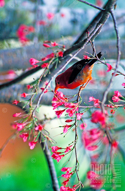An orange-red iiwi, or honeycreeper, (species: vestiaria coccinea) native to Hawaii, drinks nectar from a blossom of a pink flowering tree.