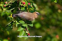 01415-03111 Cedar Waxwing (Bombycilla cedrorum) in Serviceberry Bush (Amelanchier canadensis), Marion Co., IL