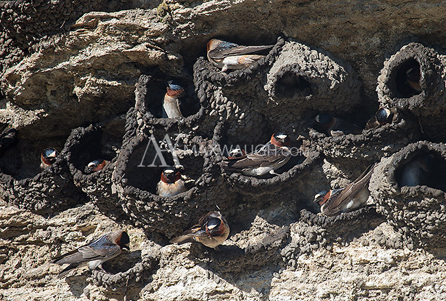 Cliff swallows nest on the side of Soda Butte cone.