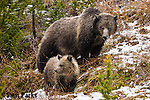 Grizzly bear sow and cub in fresh snow. Yellowstone National Park, Wyoming.
