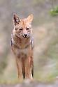 Andean Fox (Lycalopex culpaeus) 3500 metres altitude, Acjanaco Pass, Andes, Peru.